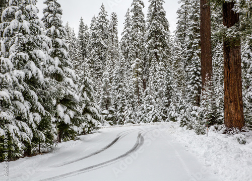 Fotomural A road winds through a forest of Douglas fir trees that are covered with snow fr