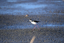 Hawaiian Stilt, Scientific Name: Himantopus Mexicanus Knudseni