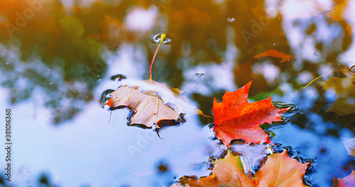 Obraz Autumn cold rainy day. Yellow orange maple leaf floating in lake. Vibrant color of fall season of nature. Calm forest park. Reflection of blue sky in clean water surface of pond. Tranquil zen concept. - fototapety do salonu