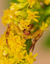 Yellow Crab Spider On A Golden Rod