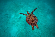Sea Turtle Resting In A Shipwreck Espiritu Santo National Park, Baja California Sur,Mexico.