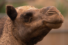 A Camel's Face Close Up