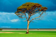 Eucalyptus Salmon Gum Tree - Western Australia