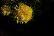 Yellow Flowers Of Chrysanthemu...