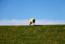 Adult Sheep Grazing In Green P...