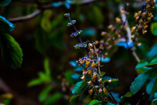 Colorful Picture Of Holy Basil With Flowers And Leaves All Around