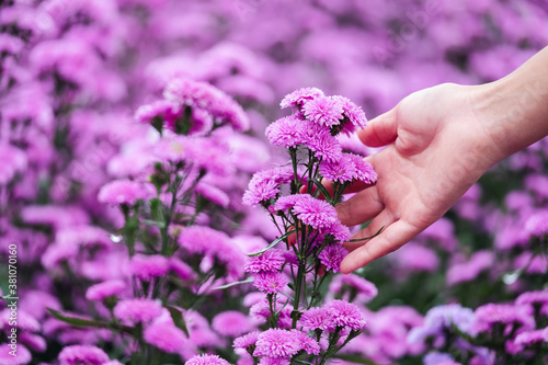 Fototapeta Closeup image of a woman's hand touching on beautiful Margaret flower in the field obraz