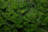Fir branch background