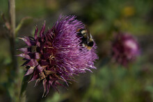 A Bee Pollinates A Large Flower