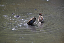 Two Sparrows Bathe In A Puddle