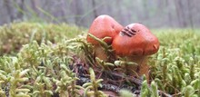 Two Small Mushrooms On The Edge Of The Forest In Moss