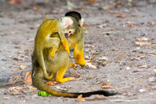 Bolivian Squirrel Monkey Mother And Her Baby