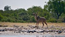 Majestic Greater Kudu Woodland Antelope (tragelaphus Strepsiceros) With Huge Antlers At A Waterhole In Kalahari Desert, Etosha National Park, Namibia, Africa.