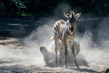 Lowland Zebra Foal And Mother ...