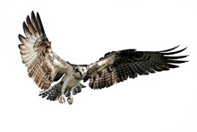 Isolated Osprey In Flight With Fully Open Wings On A White Background