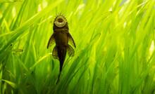 Ancistrus Species Longfin Bush...