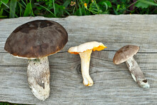 Golden Chanterelle (Cantharellus Cibarius) And Brown Birch Bolete (Leccinum Scabrum; Boletus Scaber) On A Wooden Board. Raw Mushrooms On An Old Board Background.