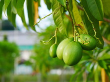 Close Up Of Unripe Fruit Of Ce...