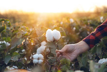 Young Farmer Woman Harvests A Cotton Cocoon In A Cotton Field. The Sun Goes Down In The Background.