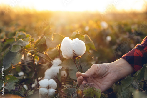 Fototapeta Young farmer woman harvests a cotton cocoon in a cotton field. The sun goes down in the background. obraz