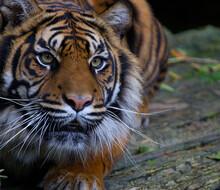 Tigress Ready To Pounce