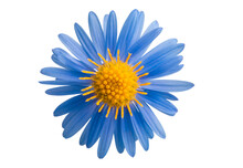 Perennial Aster Flower Isolated
