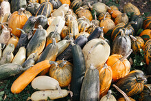 Harvest Pumpkins Stacked In A ...