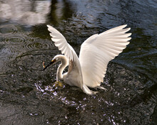 Snowy Egret Stock Photos.  Close-up Profile View In The Water With Splashing Water Around Its Head And Spread Wings, With A Minnow In Its Beak And Enjoying Its Environment And Habitat. Image.