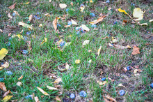 A Top View Closeup Of Dried Leaves And Plums On The Grass