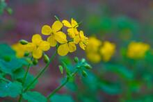 Flowering Flower Hypericum Perforatum