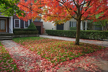 Residential Street With Red Maple Tree In Fall
