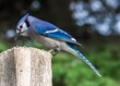 Blue Jay perched on a post eating seed