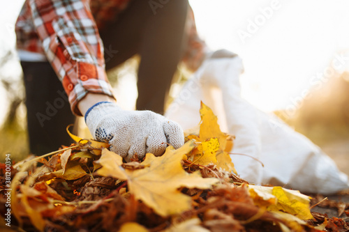 Obraz Male volunteer grabs a pile of fallen leaves and puts them into a garbage bag in the park. Man wearing gloves stacks the old colorful yellow and red leaves into a sack. Seasonal cleaning concept. - fototapety do salonu