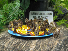 Giant Owl Butterflies, Caligo ...