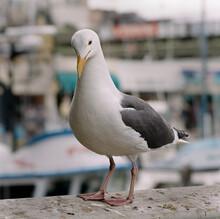 Portrait Of A White Seagull