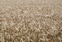 Dying Wheat Field On Cloudy Day