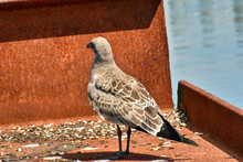 Juvenile Herring Gull At A Mar...