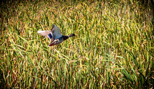 Ducks In The Reeds In A Marsh