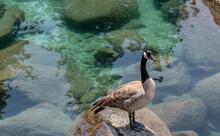 Canadian Goose In Lake Tahoe, Nevada