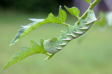 Tobacco Hornworm On A Tomato P...