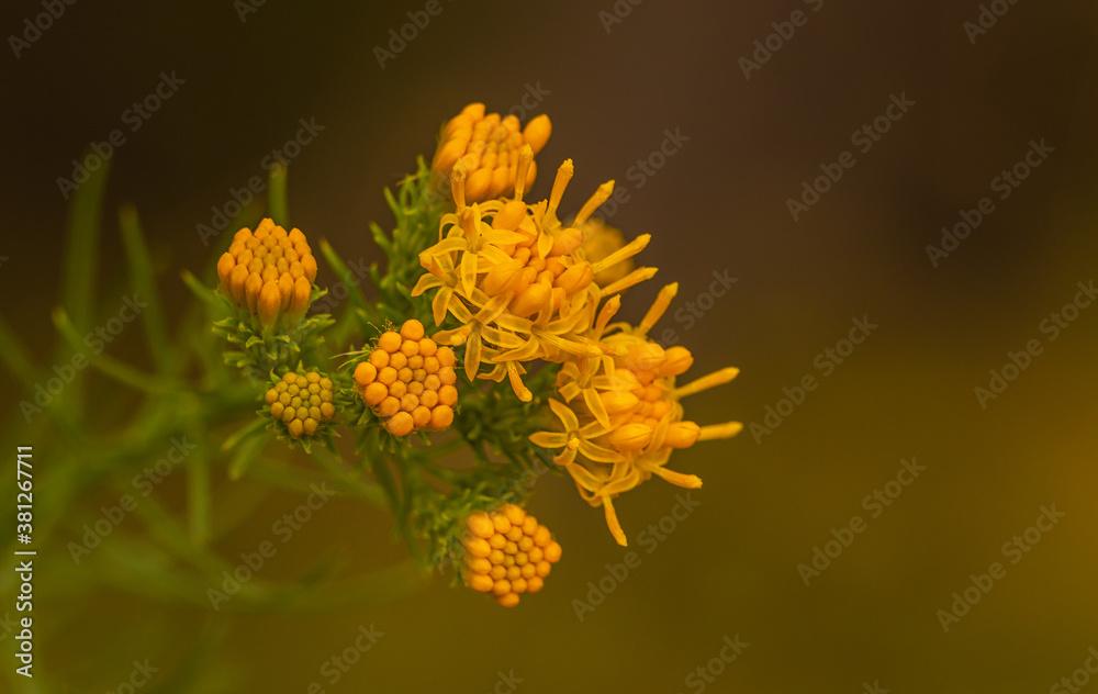 Fototapeta Pola i łąki to zazwyczaj świat tak małych, pięknych roślin.