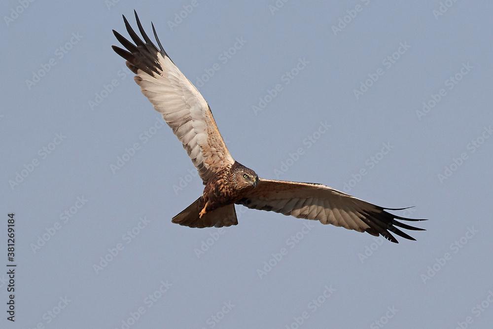 Fototapeta Western marsh harrier (Circus aeruginosus) harrier in its natural neviroment