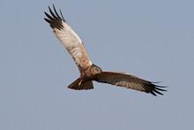 Western Marsh Harrier (Circus ...