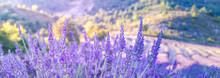 Lavender Bushes Closeup On Sun...