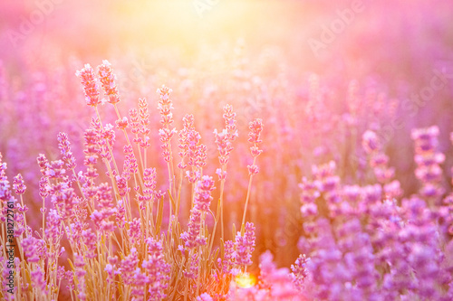 Blooming violet lavender field on sunset sky. Canvas