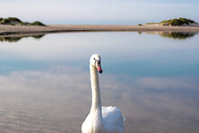 Mute Swan Posing On The Backgr...