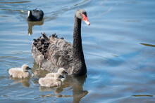 Black Swan And Her Three Cygne...