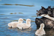 Three Fluffy Cygnets Following...