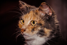 Closeup Of A Mixed Breed Cat (...