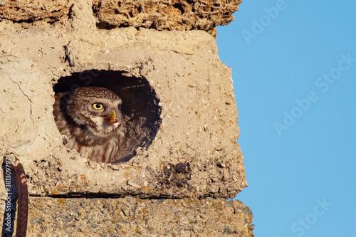 Cuadros en Lienzo Little owl Athene noctua sits in a hole with prey in its beak